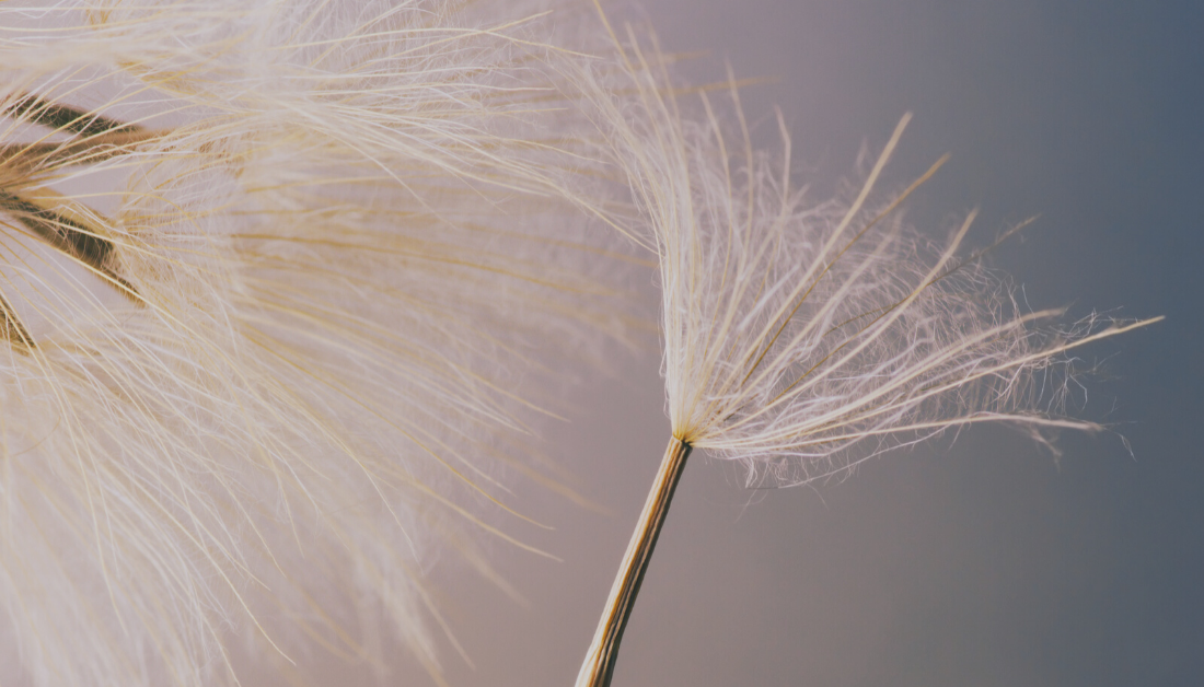 close up of dandelion with blown off seed