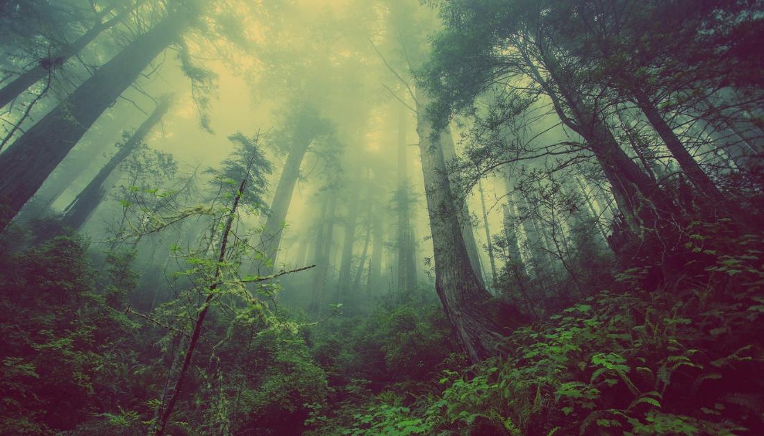forest enshrouded in mist